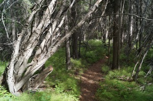 Very steep, narrow, heavily wooded hike down to the Klutina River.