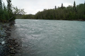 The Klutina River is loaded with salmon but they can not be seen because this is a Glacial river and they are full of silt from the glaciers.